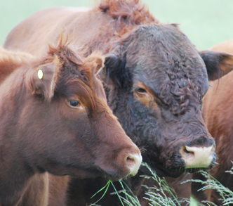 Tarquinos cattle